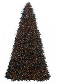 Rockefeller Pine – Giant Tree